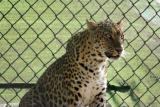 All afriaid of the Leopard, National Zoological Park, Delhi