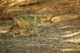 J is for Jackal, Sariska National Park, Rajasthan