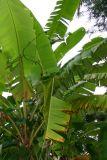 Banana leaf, Melarkode, Kerala