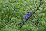 Coastal Blue Jay (Cyanocitta cristata cristata)