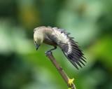 Birds of Trinidad and Tobago