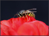 Wasp on red flower - Skanör / Sweden