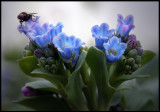 Fly on Oysterplant  (Mertensia maritima ) - Shetland