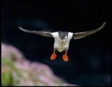 Puffin landing near Sumburgh Head - Shetland