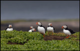 Puffins at Inner Farne Island