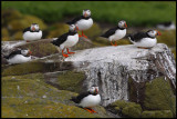 Puffins resting at Inner Farne Island