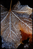 Autum leaf after the first night with below zero temperature - Evedal