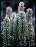 Frozen Lycopodium (Revlummer?) - Evedal