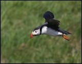 Puffin at Sumburgh Head - Shetland
