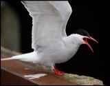 Arctic tern in Lerwick harbour