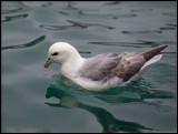 Fulmar i Lerwick harbour