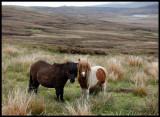Shetland ponyes near Scalloway