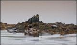 Harbour seals near Tresta