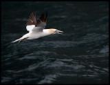 Gannet fishing near Noss