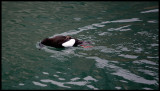 Black Guillemot in Lerwick harbour