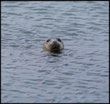 Harbour seal - Yell