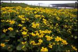 Flowers at Esha Ness
