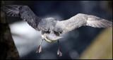Narrow landing at Sumburgh head