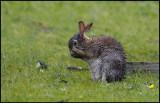 Wet Rabbit at Esha Ness