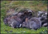 Rabbits at Esha Ness