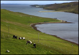 Shetland Ponyes near Lerwick