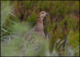 Female Red Grouse (Lagopus l. scoticus) - Cairngorms NP Scotland