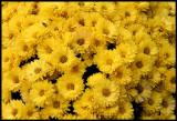 Yellow Flowers - Hook
