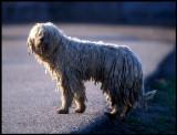 Komondor dog - never been taking a bath!!  Hungary 2000