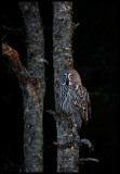 Great Gray Owl at sunset - Tornio