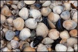 Seashells at Ugglarp beach - Halland