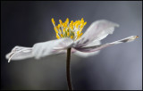 Wildwood Windflower (Anemone nemorosa) Målaskogsberg Sweden