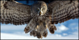 Great Gray Owl - Tornio