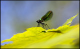 Jungfruslända hona (Calopteryx virgo female)
