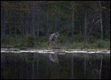 Wolf (Canis lupus) - Finland