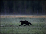 Wolverine at a bog in no man`s land (Finland/Russia)