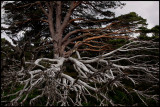 Pine chaos- Cairngorm Mountains / Scotland