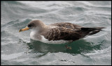 Cory´s Shearwater in the harbour of Ponta Delgada