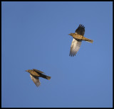 Mistle Thushes migrating at Falsterbo