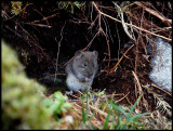 Mindre skogsmus (Wood Mouse - Apodemus sylvaticus)  Norway