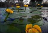 Getting close to the Yellow Water-lillies - Huseby