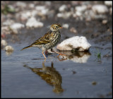 A Meadow Pipit going for a walk (Ängspiplärka - Anthus pratensis) - Gotland
