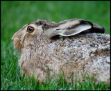A Brown Hare (Fälthare - Lepus europaeus) is eating grass in our neighbours garden every day