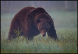 Old Brown Bear (Ursus arctos) in early morning mist - Finland