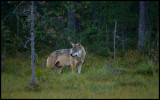 A wolf passes my hide in northern Finland (fortunately I had the Canon 800 prepared)