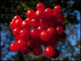 European Cranberry Bush (Skogsolvon - Viburnum opulus) Ottenby