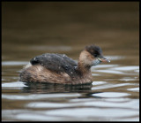 Little Grebe in winterplumage - Karlshamn