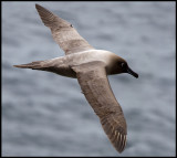 Light-mantled Sooty Albatross - Enderby Island (Auckland Islands)