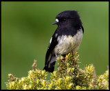 Tomtit - Enderby Island