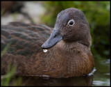 The Flightless Teal - Enderby Island