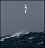 Royal Albatross in gale